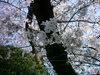 池田文庫の桜