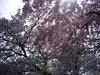 池田文庫の桜もひとつ